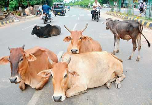 Stray cattle on roads an issue which is been unseen from years….!