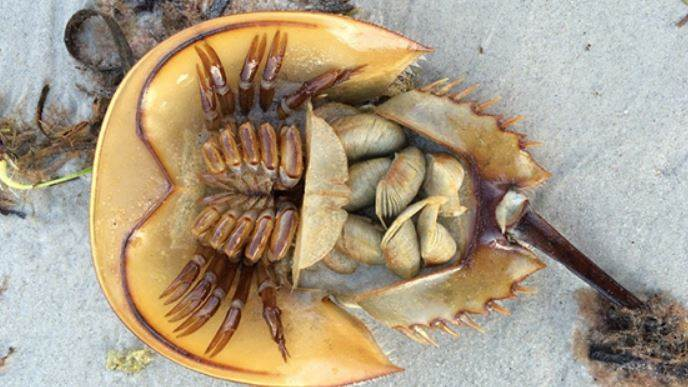Horseshoe Crab To Play Big Role In Corona Vaccine